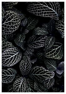 Acanthaceae Leaves  Prints Black & White Photography