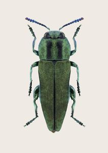 Anthaxia Green Beetle  Prints Animals & Insects