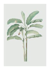 Banana Tree  Posters Botaniska Motiv
