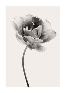 Beige Tulip 1  Posters New Arrivals
