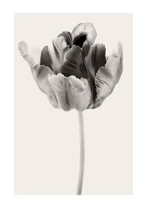 Beige Tulip 2  Prints New In