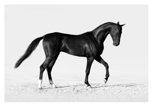 Black Horse  Affiches Animaux & Insectes