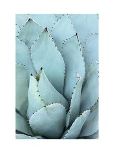 Blue Agave  Prints Photography