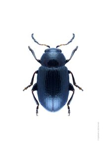 Blue Beetle  Prints Animals & Insects