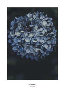 Blue Hydrangea  Prints Botanical prints