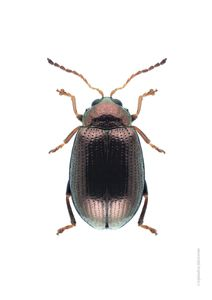 Bronze Beetle  Prints Animals & Insects