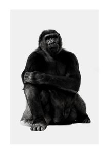 Chill Gorilla Portrait  Prints Animals & Insects