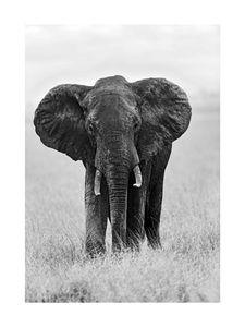 Elephant  Prints Black & White Photography