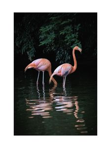 Flamingo Couple  Prints Animals & Insects