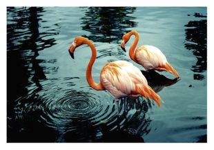 Flamingos In Water  Prints Animals & Insects