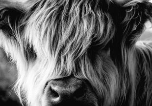 Highland Cow  Prints Animals & Insects