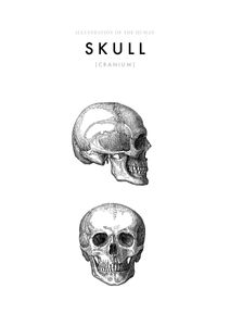 Illustration Of The Human Skull  Affiches Illustrations