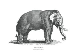 Indian Elephant Illustration  Prints Animals & Insects