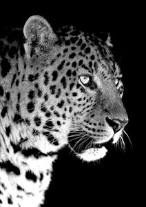 Leopard Black  Prints Animals & Insects