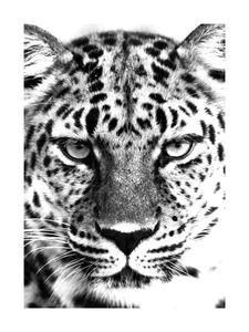 Leopard Black And White  Prints Black & White Photography