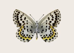 Leopard Butterfly  Prints Animals & Insects