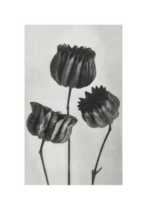 Lime Mallow By Karl Blossfeldt  Posters New Arrivals