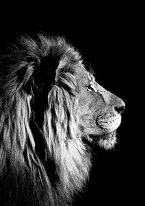 Lion Black And White  Prints Animals & Insects