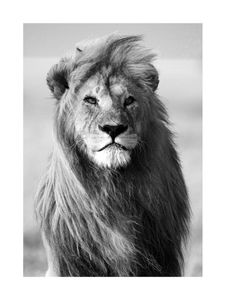 Male Lion  Prints Bestsellers