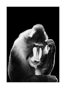 Mandrill  Prints Black & White Photography