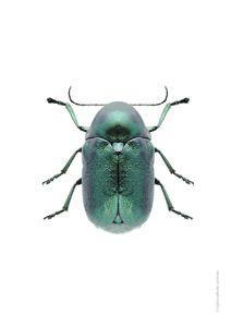Mint Beetle  Prints Photography