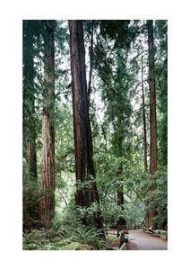 Muir Woods  Prints Nature & Scenery