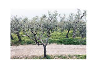 Olive Garden 2  Posters Natur & Landskap