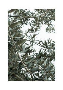 Olive Garden  Prints Nature & Scenery
