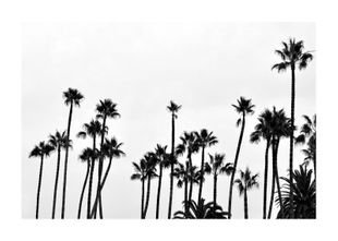 Palm Gathering  Prints Black & White Photography