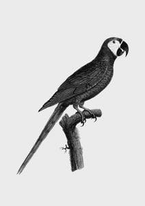 Parrot 2  Affiches Vintage