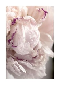Peony Abstract 2  Posters Botanical Prints