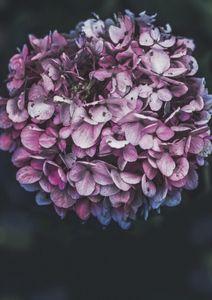 Pink Hydrangea  Affiches Botanique