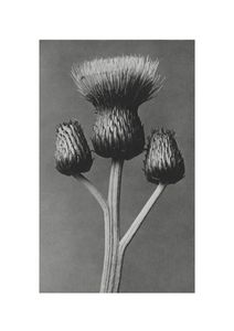 Queen Anne Thistle By Karl Blossfeldt  Posters New Arrivals