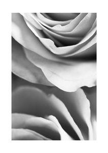 Rose Petals 1  Posters Svartvita posters
