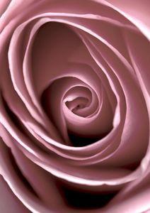 Rose Vertigo  Posters Botanical Prints