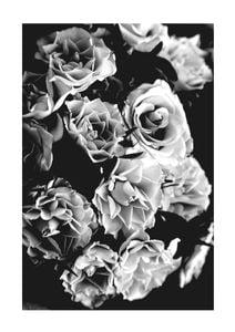 Roses Black And White  Affiches Noir et blanc