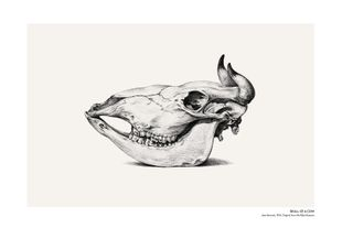 Skull Of A Cow  Prints Vintage