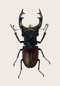 Stag Beetle 2  Prints Animals & Insects