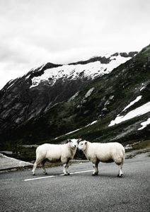 Stray Sheep  Prints Photography