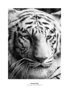 Sumatran Tiger  Prints Black & White Photography