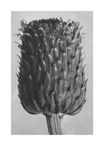 Thistle By Karl Blossfeldt  Prints New In