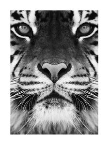 Tiger Front Black And White  Prints Bestsellers