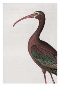 Tropical Bird Vintage  Prints Animals & Insects