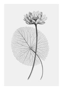 Vintage Lotus 2  Poster Botanik