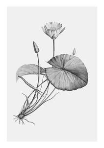 Vintage Lotus  Prints Botanical prints