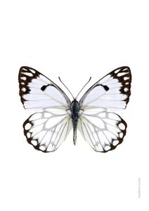 White Butterfly  Posters Djur & Insekter