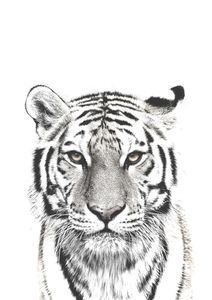 White Tiger  Poster Tiere und Insekten