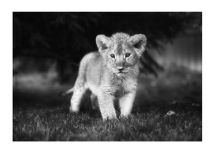 Young Lion  Prints Black & White Photography