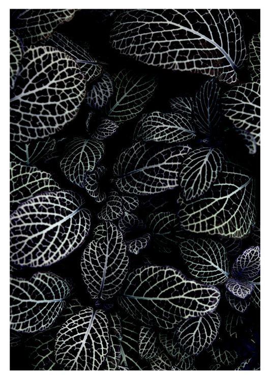 Acanthaceae Leaves
