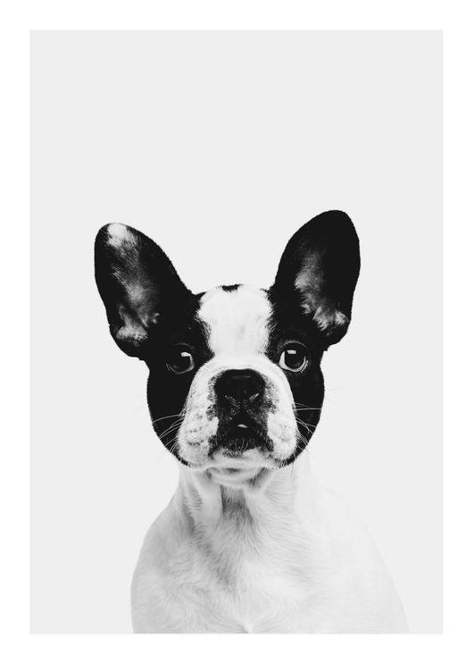 Animal Front Bulldog